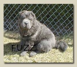 Bearcoat Shar Pei Is Very Similar To The Brushcoat Except For Coat Length They Tend Be Heavier Built And Stocky With Larger Heads Thick
